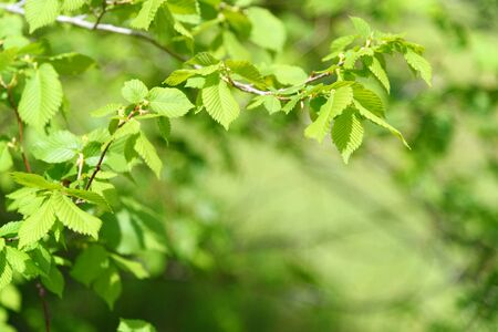 Late Spring Scenery: Light Green Tree Branch in Garden at Sunny Day