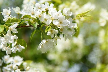Late Spring Scenery: Blooming Apple Tree Branch in Garden at Sunny Day