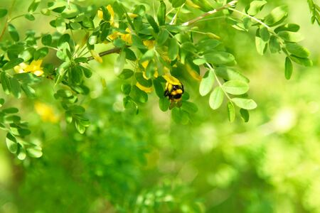 Late Spring Scenery: Acacia Tree Branch and Bee Gathering Nectar in Garden at Sunny Day Zdjęcie Seryjne