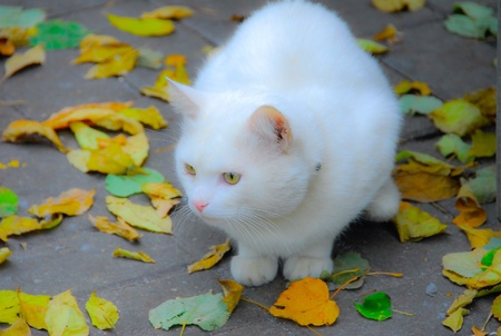 swelled: White, fluffy cat against the fallen-down foliage