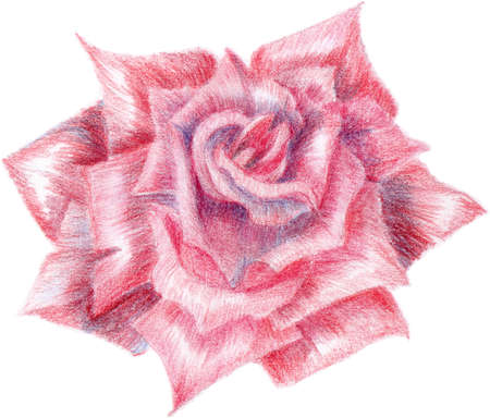 The red rose was drawn by pencils Stock Photo