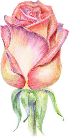 colored pencils: The rosebud was drawn by pencils