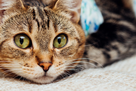 Close-up cat with bandages recovers after surgery and looks amused Banco de Imagens