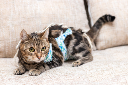 Domestic cat with bandages recovers after surgery and lies on sofa Banco de Imagens
