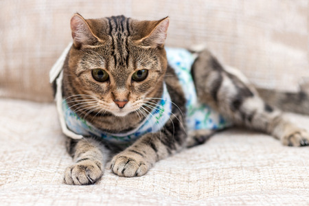Cat with bandages recovers after surgery with gloomy expression