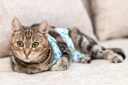 Cat with bandages recovers after surgery and lies on sofa