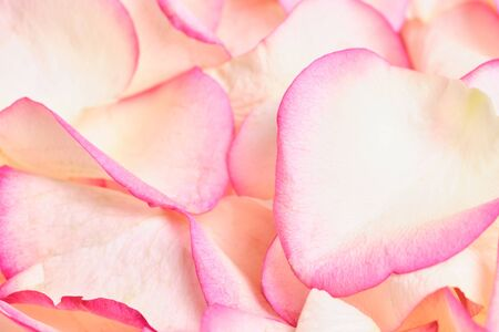 Beautiful white rose petals with pink color. Close up.