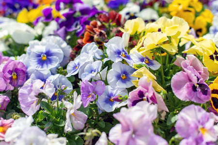Summer background of pansy flowers blooming in the garden.