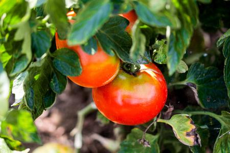 有機トマト畑 写真素材