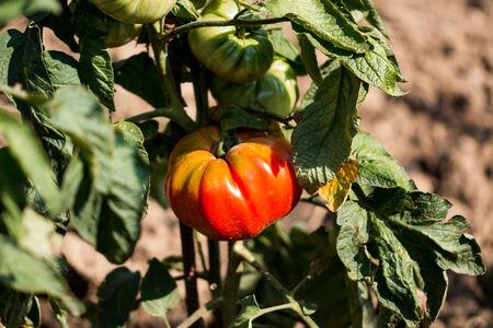 有機トマト