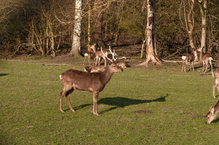 Sika deer in Vordingborg Denmark Stock Photo