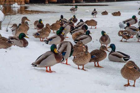 Mallard ducks in the snow on a winter day