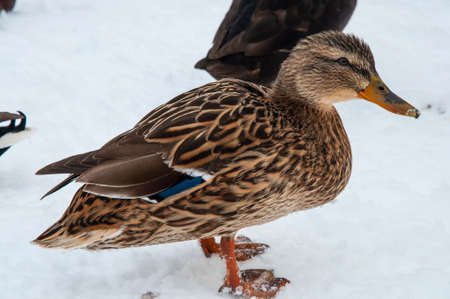 Mallard duck in the snow on a winter day