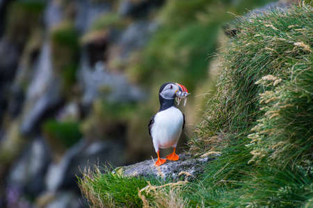 Puffin holding fish in its mouth in the cliffs of Ingolfshofdi cape in south Iceland