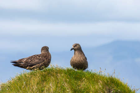 The great skua bird sitting on grass on Ingolfshofdi cape in south Iceland
