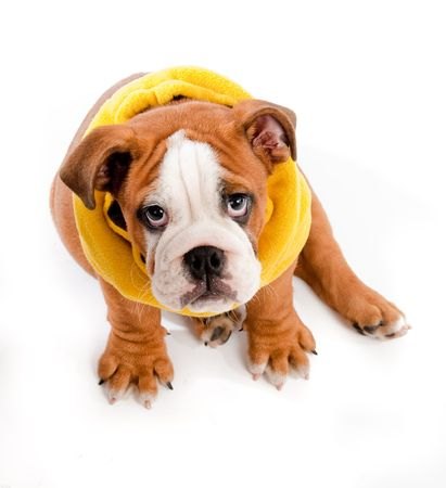 english Bulldog puppy on isolated background with yellow scarf photo