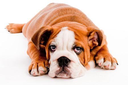 english Bulldog puppy on isolated background photo