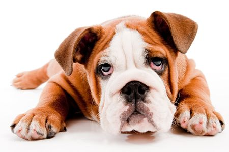 nose close up: english Bulldog puppy on isolated background