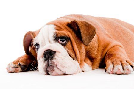 close up of english Bulldog puppy on isolated background photo