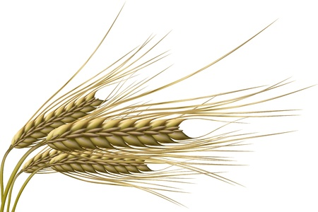 wheat illustration: illustrazione del chicco di grano su sfondo isolato Vettoriali