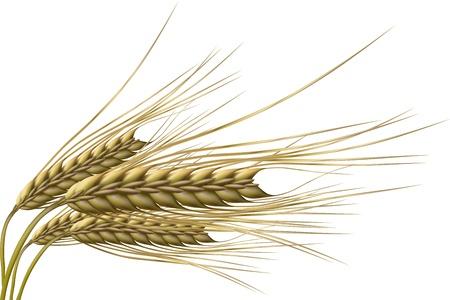 avena: Ilustraci�n de grano de trigo sobre fondo aislado