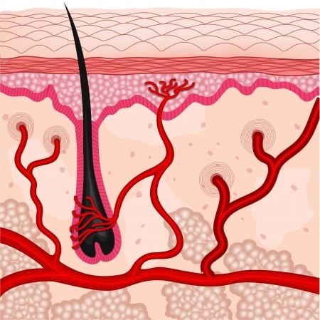 follicle: Ilustraci�n de c�lulas de piel humana Vectores