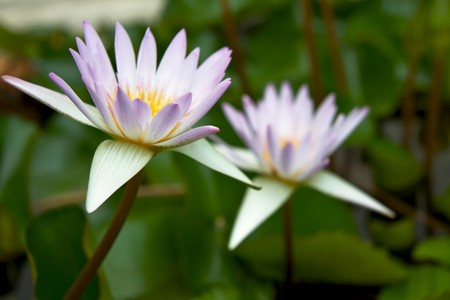 waterlilly: Lotus (Cape water-lilly) 2