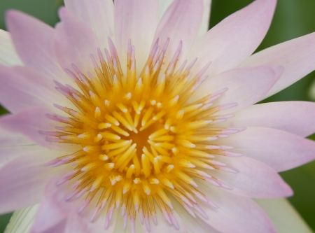 blossom lotus flower,close up photo