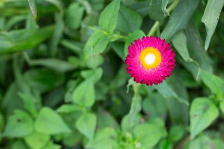 everlasting: everlasting flower on green nature Stock Photo