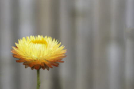 everlasting: everlasting flower on nature