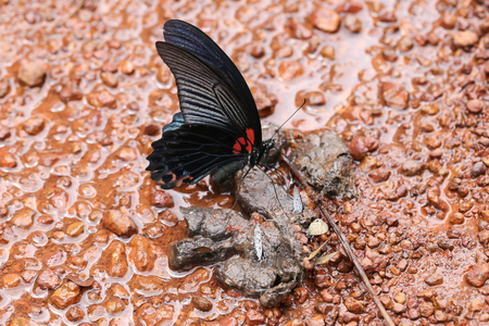butterfly eating animal feces on the floor of the forest.