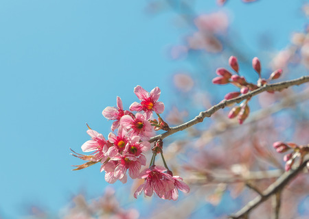 Close up view of beautiful pink flower in blue sky background (Wild Himalayan Cherry)