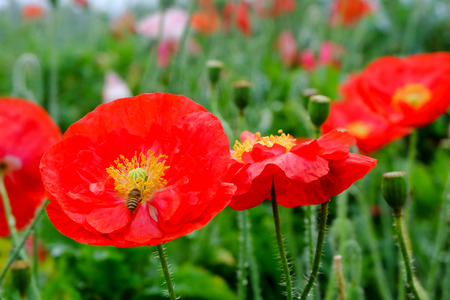 Close up red opium poppy flower with bees in garden. Stock Photo