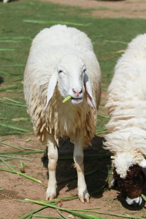 protrait of cute sheep feeding