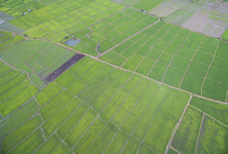 Aerial view from drone. rice plants in paddy field