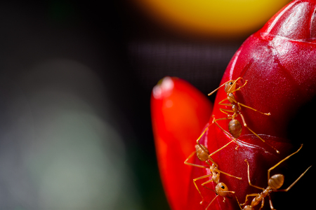 close up red ant on cheilocostus speciosus flower (Crape ginger, Malay ginger, Spiral Flag, Wild ginger,Costus speciosus )