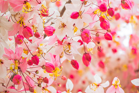 beautiful pink shower flower blooming on branch wishing tree in nature background.Cassia bakeriana Craib