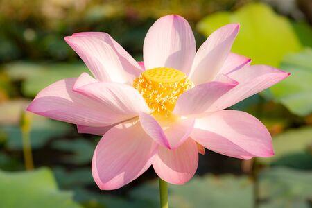 primer plano, hermoso, flor de lirio de agua, en, charca, naturaleza, plano de fondo, lotus