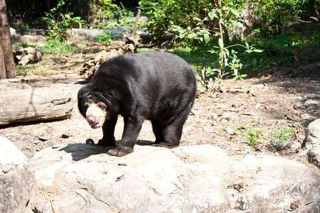 indo china: Sun Bear