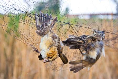 mummified: dead bird on net Stock Photo