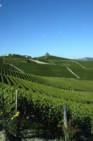 piedmont: vineyard in Italy