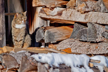 Cat on the roof full pile of logs photo