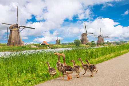 archetypal: A family of Ducks near the dutch mills in Kinderdijk, Netherlands Stock Photo