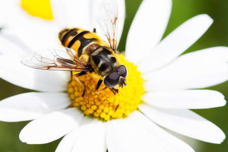 Bee collecting nectar on marguerite flower Stock Photo