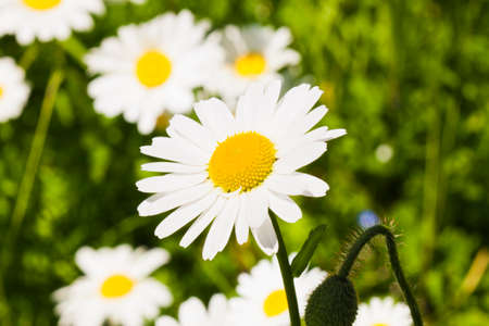 on marguerite flowers on the spring meadow Stock Photo