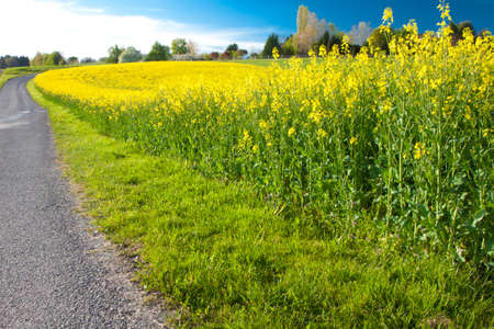 coleseed: Rapeseed  Brassica napus  field with nearby road Stock Photo