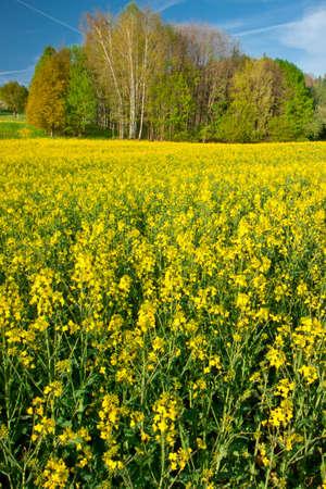 brassica: Rapeseed  Brassica napus  field