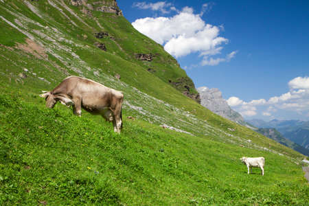 Brown Swiss Cows in the Swiss Alps photo