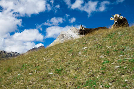 Swiss cows on the meadow in the Swiss Alps near St. Moritz