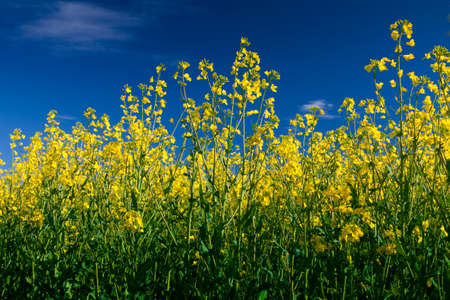 Rapeseed (Brassica napus) plant in blossom photo